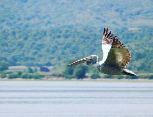 Λίμνη Κερκίνη: Ενα «ταξίδι» δίπλα στους περίφημους αργυροπελεκάνους… (vid)
