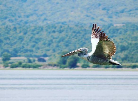 Λίμνη Κερκίνη - Αργυροπελεκάνος